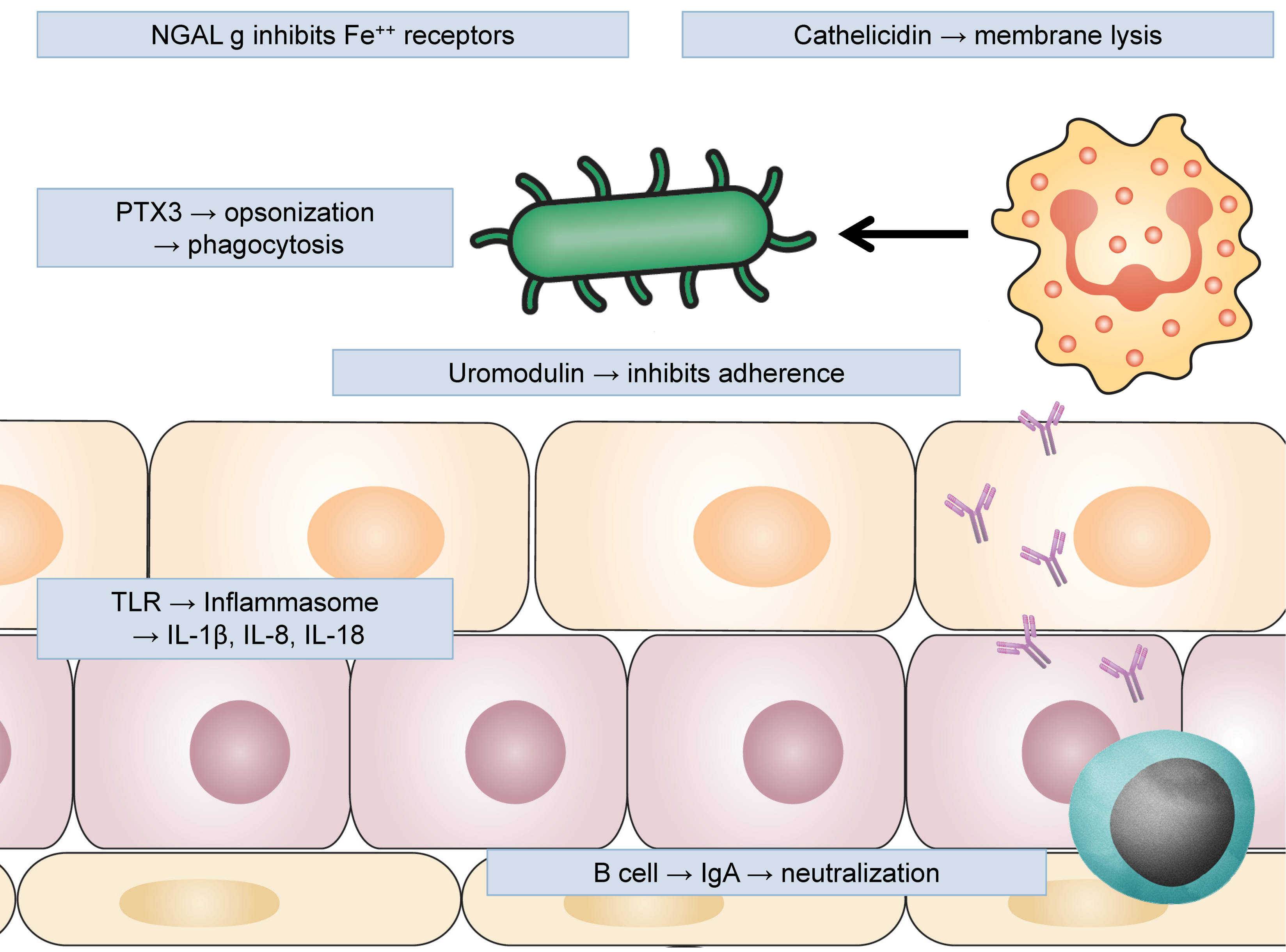 Figure 2: Uromodulin produced by urothelium inhibits adherence of UPEC; NGAL (neutrophil gelatinase-associated lipocalin) inhibits iron receptors blocking bacterial capacity to proliferate; cathelicidin and other antimicrobial peptides cause membrane lysis; pentraxin 3 (PTX3) opsonizes uropathogens and facilitates their phagocytosis by neutrophils and macrophages; epithelial cells activate inflammasome trough TLRs, producing pro-inflammatory cytokines; adaptive immune response also participates with B lymphocytes producing antigen-specific IgA neutralizing uropathogens.